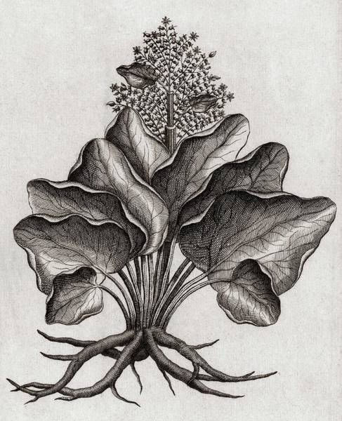 Traditional Chinese Medicine Wall Art - Photograph - Wild Rhubarb Plant by Royal Institution Of Great Britain / Science Photo Library