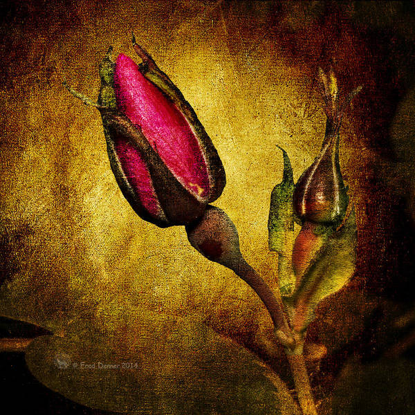 Photograph - Wild Rose Bud by Fred Denner