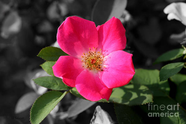 Photograph - Wild Rose by E B Schmidt