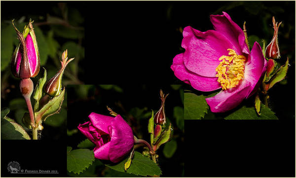 Photograph - Wild Rose by Fred Denner