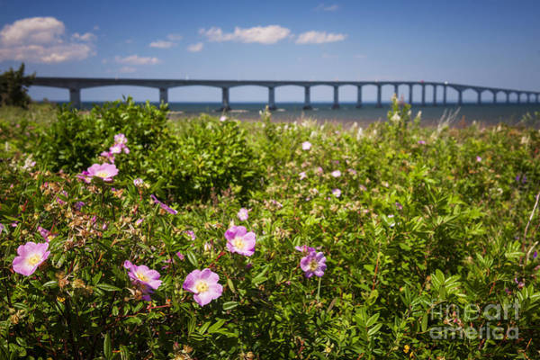 Wall Art - Photograph - Wild Roses At Confederation Bridge by Elena Elisseeva
