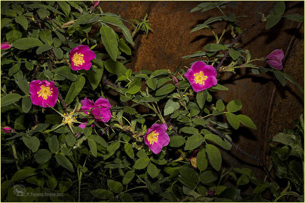 Photograph - Wild Roses by Fred Denner