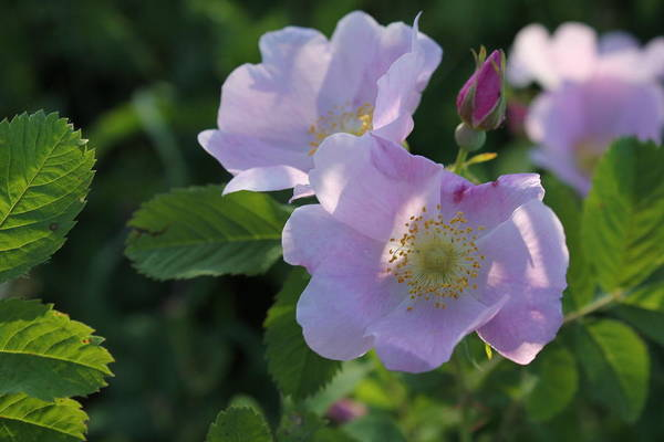 Photograph - Wild Roses by Ruth Kamenev