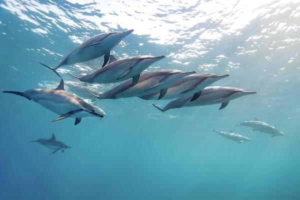 Big Island Photograph - Wild Spinner Dolphins by James R.d. Scott