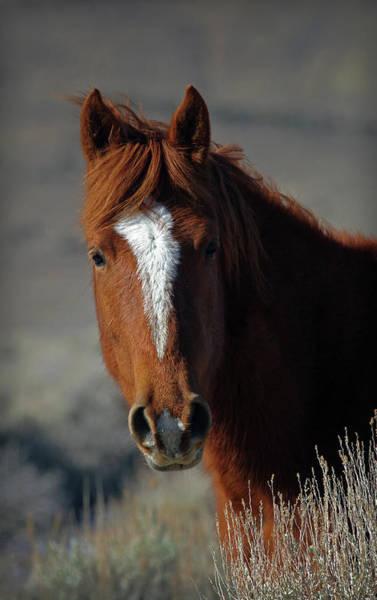 Photograph - Wild Stallion by Eastern Sierra Gallery