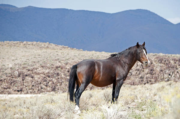 Photograph - Wild Stallion In The Mountains by Lula Adams