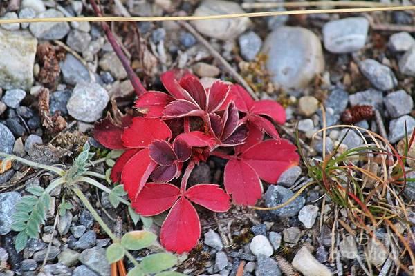 Photograph - Wild Strawberry by Ann E Robson
