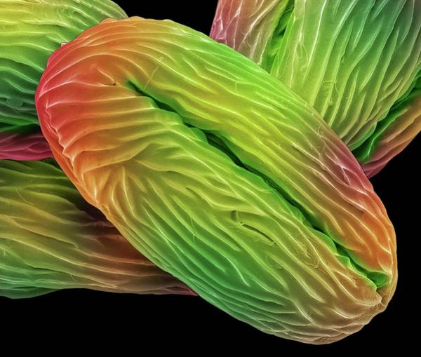Angiosperms Wall Art - Photograph - Wild Strawberry Pollen Grains by Steve Gschmeissner