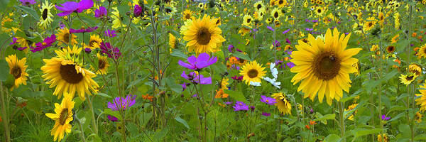 Photograph - Wild Sunflower Field Panoramic by Joann Vitali