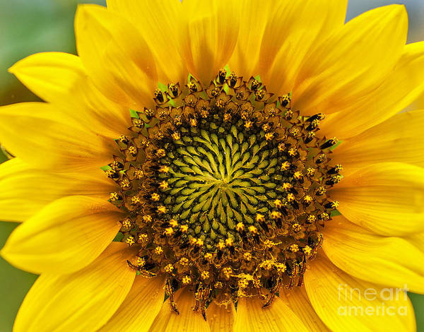 Photograph - Wild Sunflower by Mae Wertz