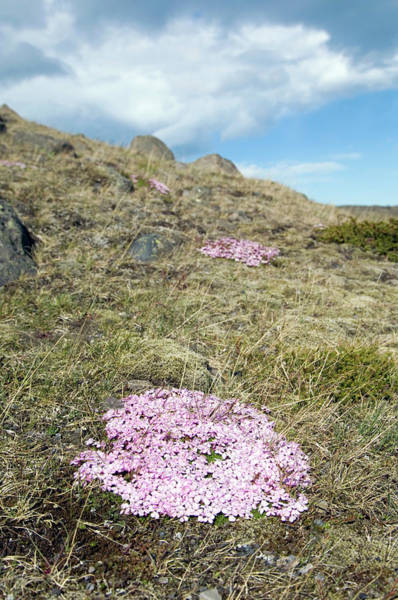 Moorland Photograph - Wild Thyme (thymus Sp.) by Daniel Sambraus/science Photo Library