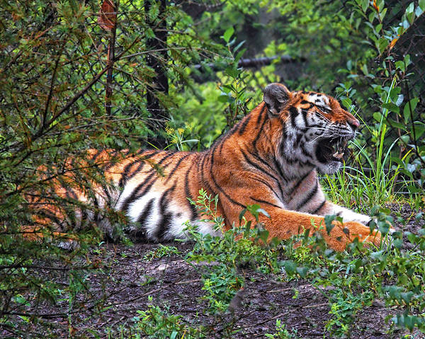 Photograph - Wild Tiger by Mary Almond