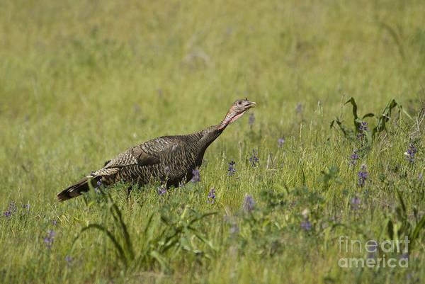 Photograph - Wild Turkey by Dan Suzio