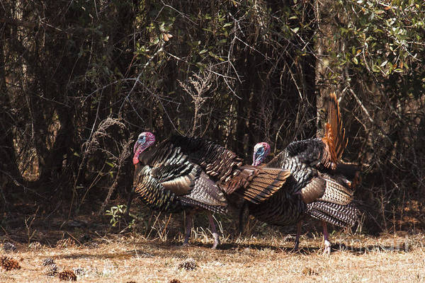 Photograph - Wild Turkey Gobblers by Ronald Lutz