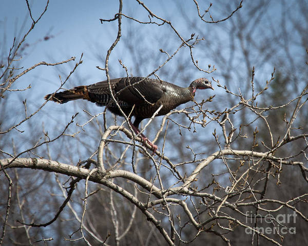 Wall Art - Photograph - Wild Turkey In The Roost by Roger Bailey