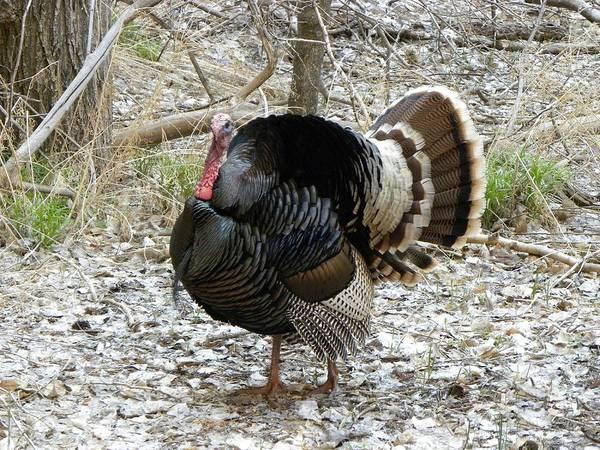 Wild Turkey Mnt Zion Ut Art Print