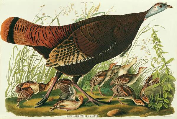 Meleagris Gallopavo Photograph - Wild Turkey by Natural History Museum, London/science Photo Library