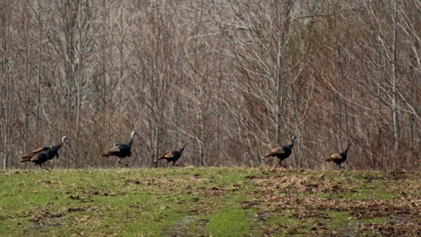 Photograph - Wild Turkey Run by Lorna R Mills DBA  Lorna Rogers Photography