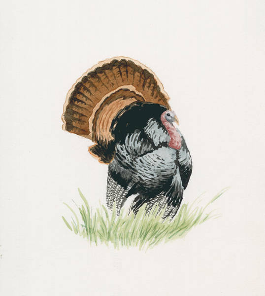 Wall Art - Painting - Wild Turkey by Timothy Livingston