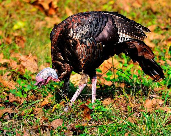 Photograph - Wild Turkey by Walt Sterneman