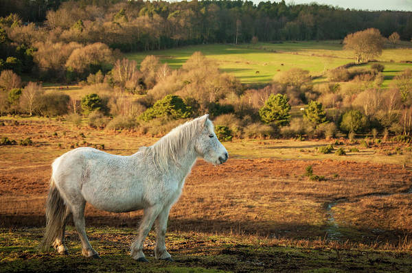 Mare Photograph - Wild White Mare In Field, New Forest by Li Kim Goh