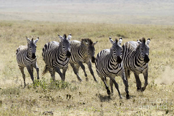 Photograph - Wild Zebras Running  by Chris Scroggins