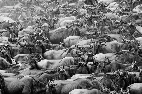 Wall Art - Photograph - Wildbeests by Henry Zhao