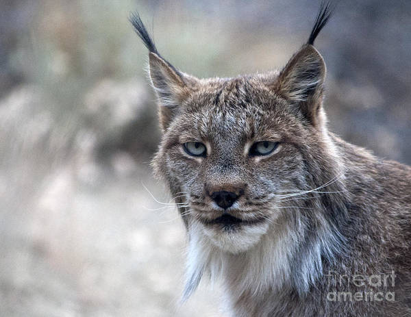 Photograph - Wildcat Portrait by Lula Adams