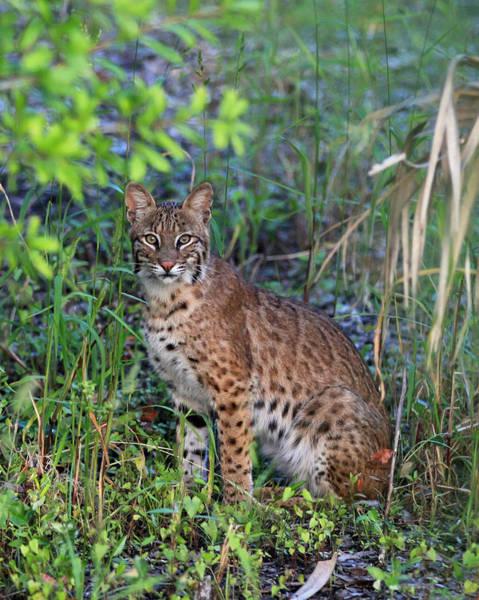 Photograph - Wildcat by Sean Allen