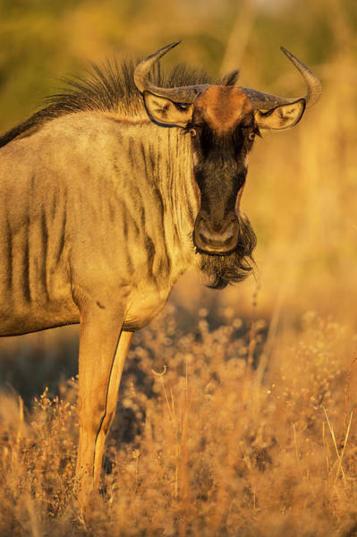 Urban Wildlife Photograph - Wildebeest At Dawn, Chobe National by WorldFoto