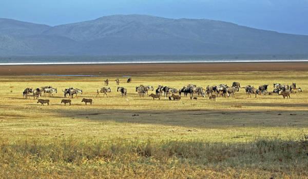 Photograph - Wildebeest On Lake Manyara by Tony Murtagh