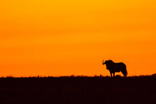 Blythe Photograph - Wildebeest Sunrise by Sue Blythe