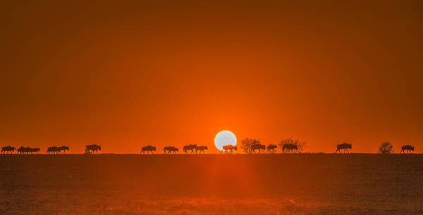 Wall Art - Photograph - Wildebeests Walking In Golden Light by David Hua