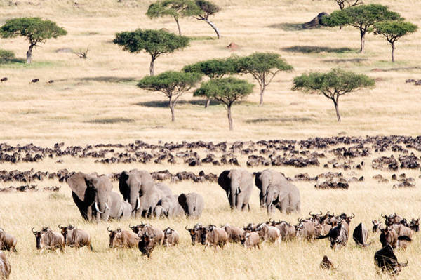 Migrate Photograph - Wildebeests With African Elephants by Panoramic Images