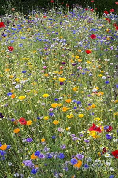 English Garden Photograph - Wildflower Mix by Tim Gainey
