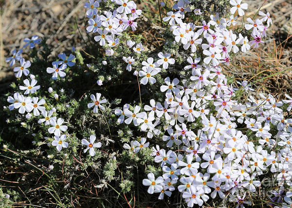 Photograph - Wildflower Phlox by Carol Groenen