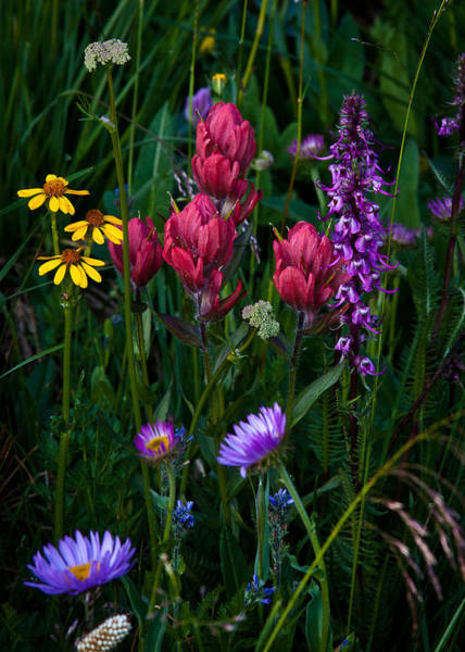 Indian Peaks Wilderness Photograph - Wildflowers A Bloomin by Steven Reed