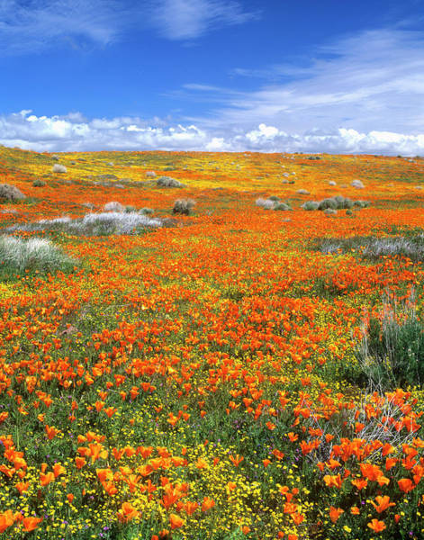 Wildflowers At The California Poppy Art Print by John Alves