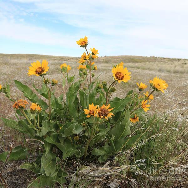 Photograph - Wildflowers - Carey's Balsamroot by Carol Groenen