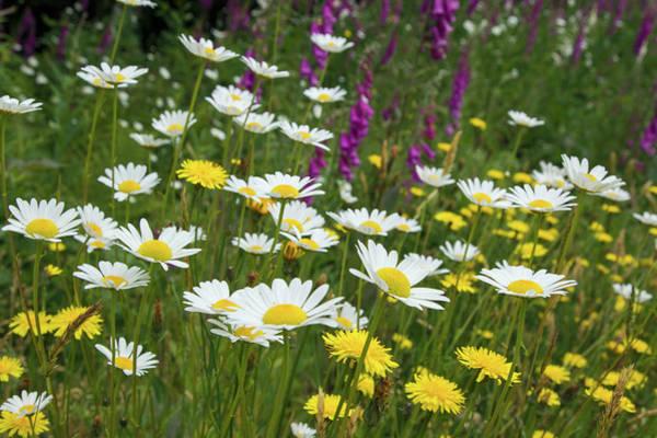 Hollyhock Photograph - Wildflowers, Daisies, Hollyhock by Ken Archer