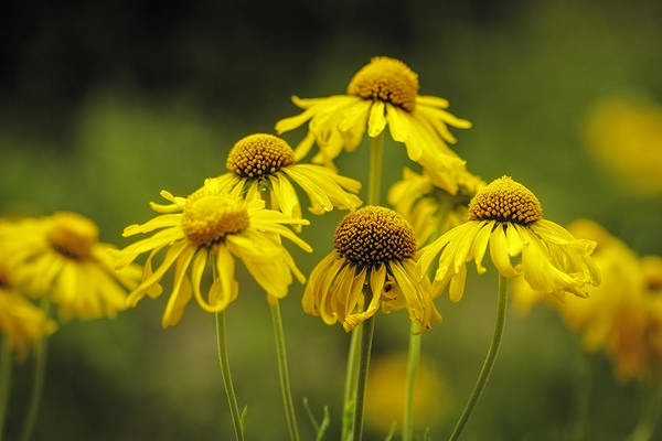 Photograph - Wildflowers In Yellow by Teri Virbickis