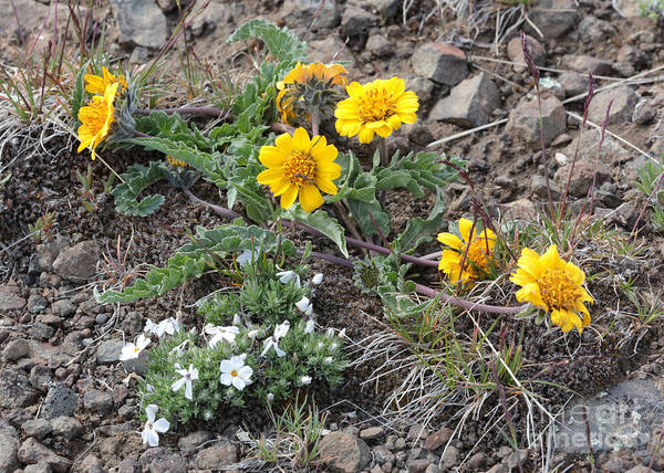 Photograph - Wildflowers - Rosy Balsamroot With Cushion Phlox by Carol Groenen