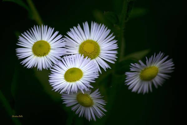 Photograph - Wildflowers White Fleabane by Christina Rollo