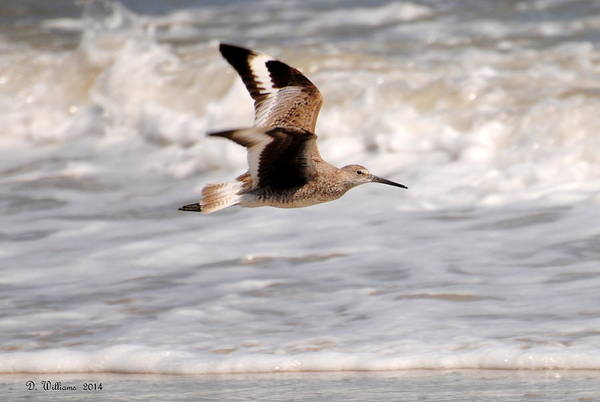 Photograph - Willet In Flight by Dan Williams