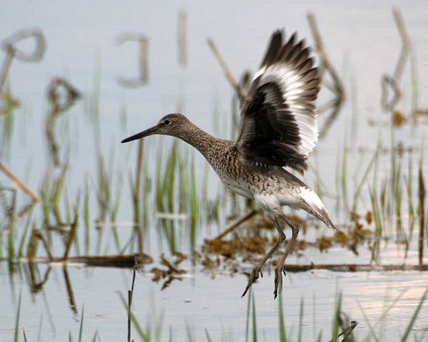 Photograph - Willet Taking Flight by William Selander