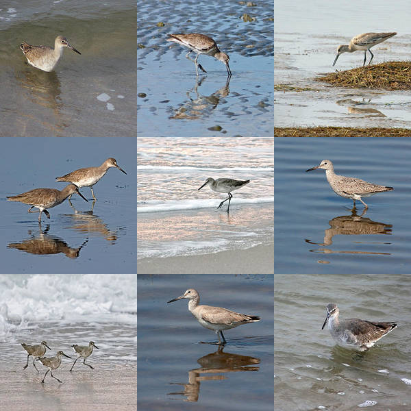 Photograph - Willets Along The Shore by Dawn Currie