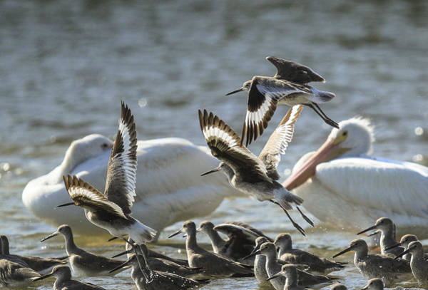 Photograph - Willets And White Pelicans by Doug McPherson