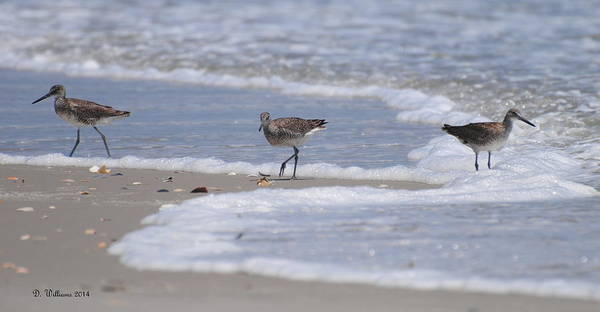 Photograph - Willets On Ocracoke by Dan Williams