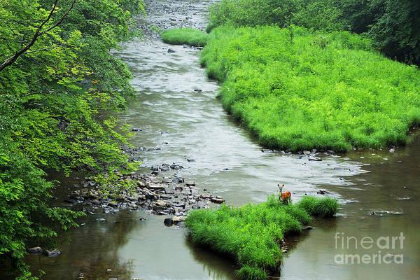 Wall Art - Photograph - Williams River Summer Doe by Thomas R Fletcher