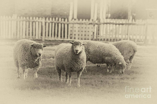 Wall Art - Photograph - Williamsburg Sheep by Terry Rowe